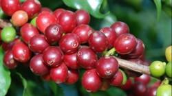 Giá nông sản hôm nay 6/6: Giá cà phê vẫn giảm dù Robusta thế giới tăng nhẹ, giá tiêu đi ngang