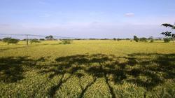 Đẹp ngỡ ngàng cánh đồng lúa chín vàng ở ngoại thành Hà Nội