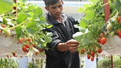 LẠ MÀ HAY: Trồng dâu tây lơ lửng, trái thả đong đưa, lãi 2 tỷ đồng mỗi năm