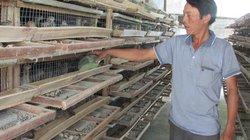 Làm giàu ở nông thôn: Cả làng giàu từ nuôi chim bằng nắm tay con nít