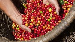 Giá nông sản hôm nay 7/6: Giá cà phê, giá tiêu đồng loạt tăng