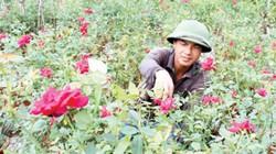 """""""Vườn tình yêu"""" toàn hồng ta giá tiền tỷ của chàng trai quê lúa"""