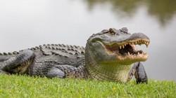 Mỹ: Mổ bụng cá sấu khổng lồ, thấy cảnh bi thảm