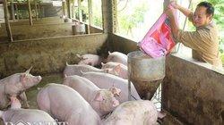 """Giá heo hơi hôm nay 11/6: Lệch cung cầu, giá lợn giống lên cơn """"sốt"""""""