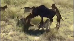 Linh dương làm điều không tưởng trước vòng vây của 8 sư tử