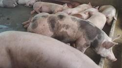 Tỷ phú 4.0 ở vùng cao vượt qua bão giá lợn như thế nào?