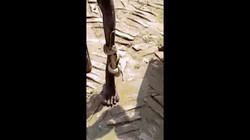 Bị rắn cắn và quấn chặt quanh chân vẫn đi bộ 3km