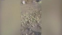 """Video: Hàng trăm quả trứng """"hỏng"""" bỗng nở thành gà con"""