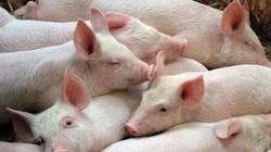Giá heo hơi hôm nay 13/6: Giá giảm dần, chăn nuôi trong nước ngày càng teo tóp
