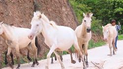 """""""Vương quốc"""" bạch mã lớn nhất đất Việt: Nuôi ngựa trắng lên đời đại gia"""