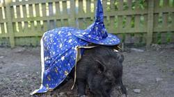 Giật mình 'lợn tiên tri' dự đoán kết quả bán kết World Cup