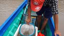 Đổ xô đăng bắt cá kèo giống, biết cấm vẫn làm bởi nghèo quá