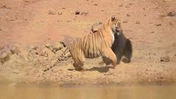 Trận kịch chiến giữa hổ với gấu và kết quả khó ai ngờ