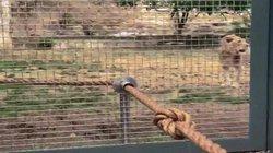 Sư tử đơn độc kéo co với 3 đô vật và cái kết không tưởng