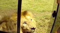 Du khách suýt mất tay vì dám vuốt lưng sư tử