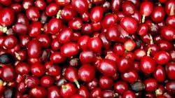 """Giá nông sản hôm nay 26/5: Giá cà phê """"thủng sàn"""" giảm sốc, giá tiêu chưa có triển vọng"""