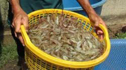 Muốn giàu nuôi cá, muốn khá có tiền tỷ thì nuôi tôm...khác người