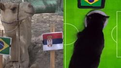"""Dự đoán World Cup: Brazil vs Serbia - """"tiên tri"""" động vật chọn ai?"""