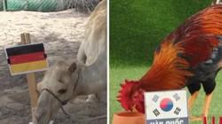 Dự đoán World Cup: Đại bàng, lạc đà chọn Đức, gà, vẹt chọn Hàn Quốc