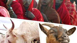 Đau xót nạn tảo hôn, đổi con dâu lấy... bò và dê tại châu Phi