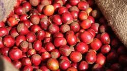 """Giá nông sản hôm nay 29/6: Giá cà phê """"quay ngoắt"""" chiều giảm, tương lai giá tiêu mù mịt"""