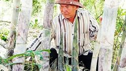 Trồng vườn tầm vông thẳng tắp, bán lai rai lãi hơn 100 triệu