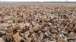 Vụ hàng trăm ha ngao chết la liệt ở Thanh Hóa: Thủ phạm do đâu?