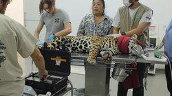 Báo đốm đầu tiên chào đời bằng phương pháp đặc biệt bị mẹ ăn thịt sau vài ngày