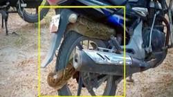 SỐC: Trăn dài 2,4 mét quấn chặt xe côn tay Honda Unicorn