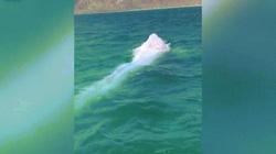 Video: Phát hiện cá voi bạch tạng siêu hiếm ngoài khơi Mexico