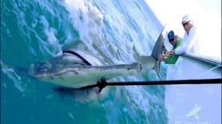 Cá mập đầu búa to kỷ lục cướp mồi của ngư dân Mỹ, kéo cả thuyền 10 tấn