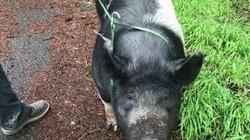 Lợn 2 tạ nuôi trong nhà đi lạc, không ngờ bị hàng xóm xẻ thịt làm bữa tối