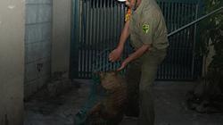 ẢNH: Đội phản ứng nhanh bắt chó thả rông, không rọ mõm từ sáng sớm