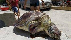 Rùa xanh quý hiếm bị chặt cụt 2 vây trước, chết trôi vào vịnh Vĩnh Hy