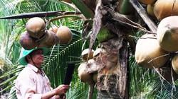 Làm giàu ở nông thôn: Sung túc nhờ trồng dừa xiêm chuỗi