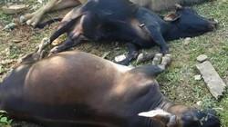Bắc Kạn: 8 ngày 6 con trâu bò chết nghi do uống phải nước có cyanua