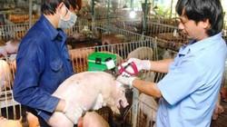 """Hành trình """"săn"""" virus dịch tả lợn châu Phi: 4 năm nữa mới có?"""