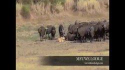 Video: Sư tử quật ngã trâu rừng, không ngờ bị cả đàn trâu kéo đến thách thức