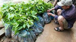 Lạng Sơn: Cấp phát cây giống cho nông dân cao hơn giá thị trường