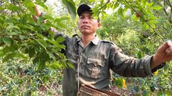 Sơn La: Mận Tam Hoa mất mùa kép, bán cả trăm gốc chỉ được 10 triệu
