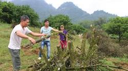 Xót xa: Vùng đất của những tỷ phú cam phải chặt bỏ hàng trăm hecta