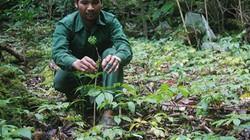 Quảng Nam: Lập chốt giữ sâm trồng giấu kín trong rừng sâu
