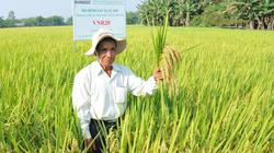"""Nông dân xứ Quảng """"ngỡ ngàng"""" với giống lúa siêu năng suất 81 tạ/ha"""