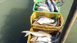 10.000 con cá bớp lăn ra chết ở Long Sơn, ruột đau như xát muối