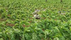 Mưa đá rào rào phá nát hàng chục ha trồng cây thuốc lá