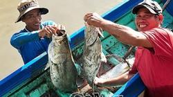 Thuốc vuông tôm ở Cà Mau: Bắt được cá chẽm bự, bán 100 ngàn/ký