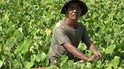 Chuyện lạ Kiên Giang: Mang rau dại thả ruộng, tốt vù vù, hái 800 ngàn/ngày