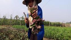 Hà Tĩnh: Trồng rau thơm lãi gấp 10 cấy lúa, lúc nào cũng có tiền