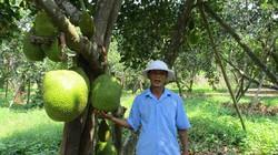 """Quảng Nam: Đếm tiền """"khỏe re"""" từ cây ra quả """"khổng lồ"""", thơm cả xóm"""