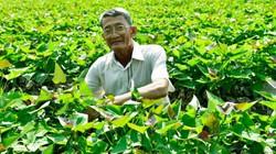"""Kiên Giang: Năm nào cũng """"đào"""" được 300 triệu từ khoai lang Bông Súng"""